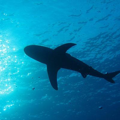 Grönlandhai – 400 Jahre alt und noch topfit