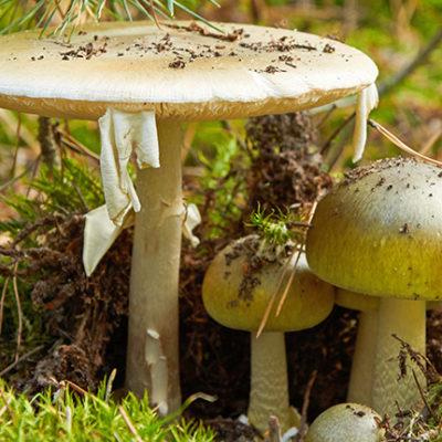 Vorsicht beim Pilze sammeln – der Knollenblätterpilz ist wieder da