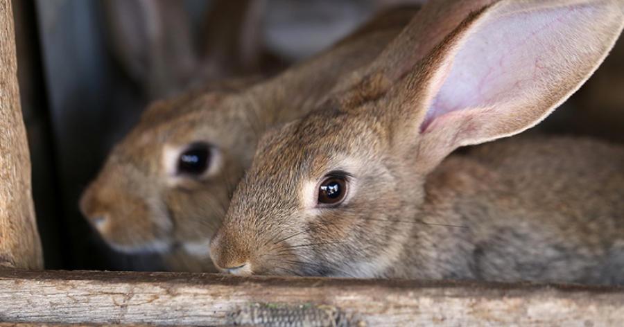 Chinaseuche sorgt für Kaninchensterben in Deutschland