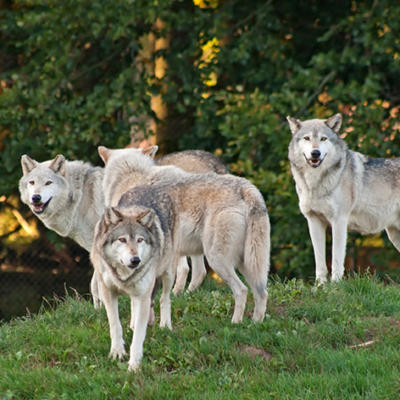 Wie gefährlich sind Wölfe für Menschen?