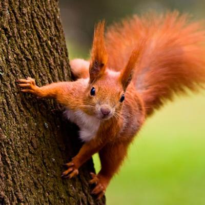 Eichhörnchenfleisch – die neue Delikatesse in England